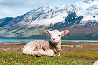 Lamb Sitting - Photo by Sulthan Auliya on Unsplash