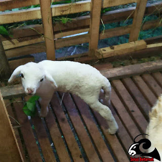 Panduan Berternak Domba Yang Menguntungkan