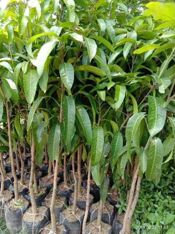 Bibit buah mangga red ivory super Sulawesi Selatan