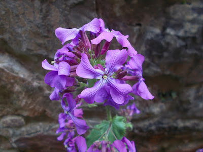 Lunaria Honesty Change your garden - what can you add this year? Green Fingered Blog