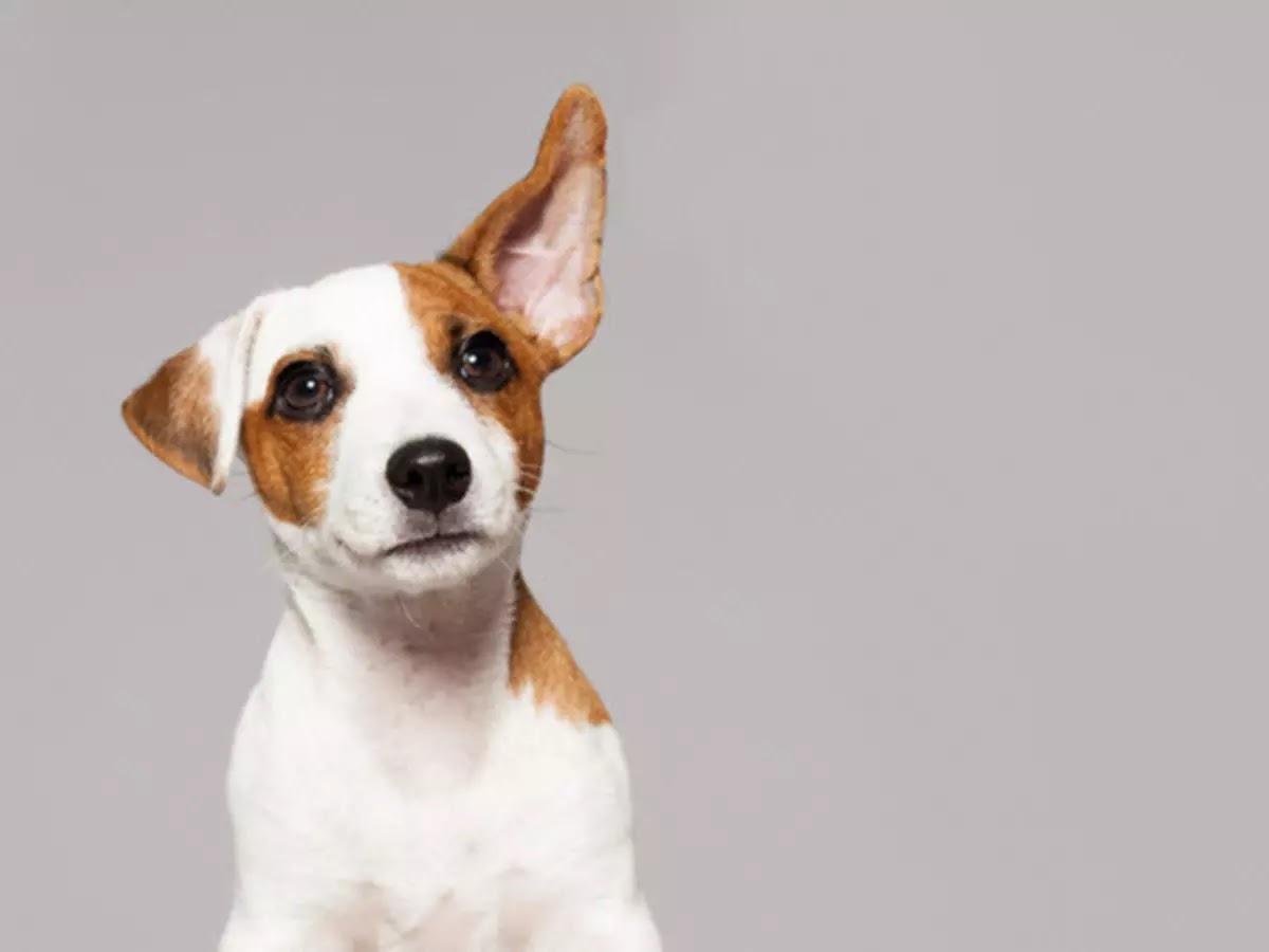 köpek-kulak-temizliği