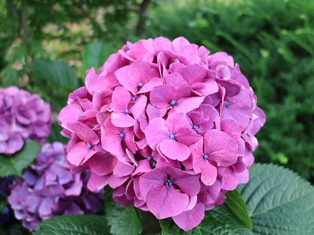 tặng hoa cẩm tú cầu có ý nghĩa gì?