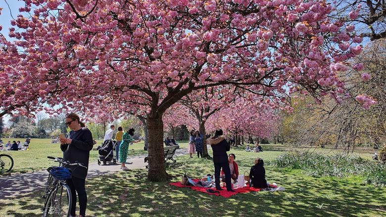 在櫻花樹下野餐