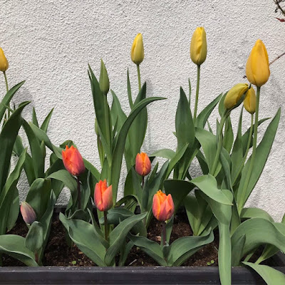 Yellow and orange tulips in a planter. The planter is in front of a rough pebble-dashed wall.
