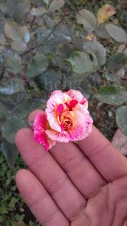 hoa hồng nhờ phân bón từ vỏ chuối