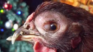 Obat Sakit Mata Pada Ayam Joper Yang Di Rekomendasikan