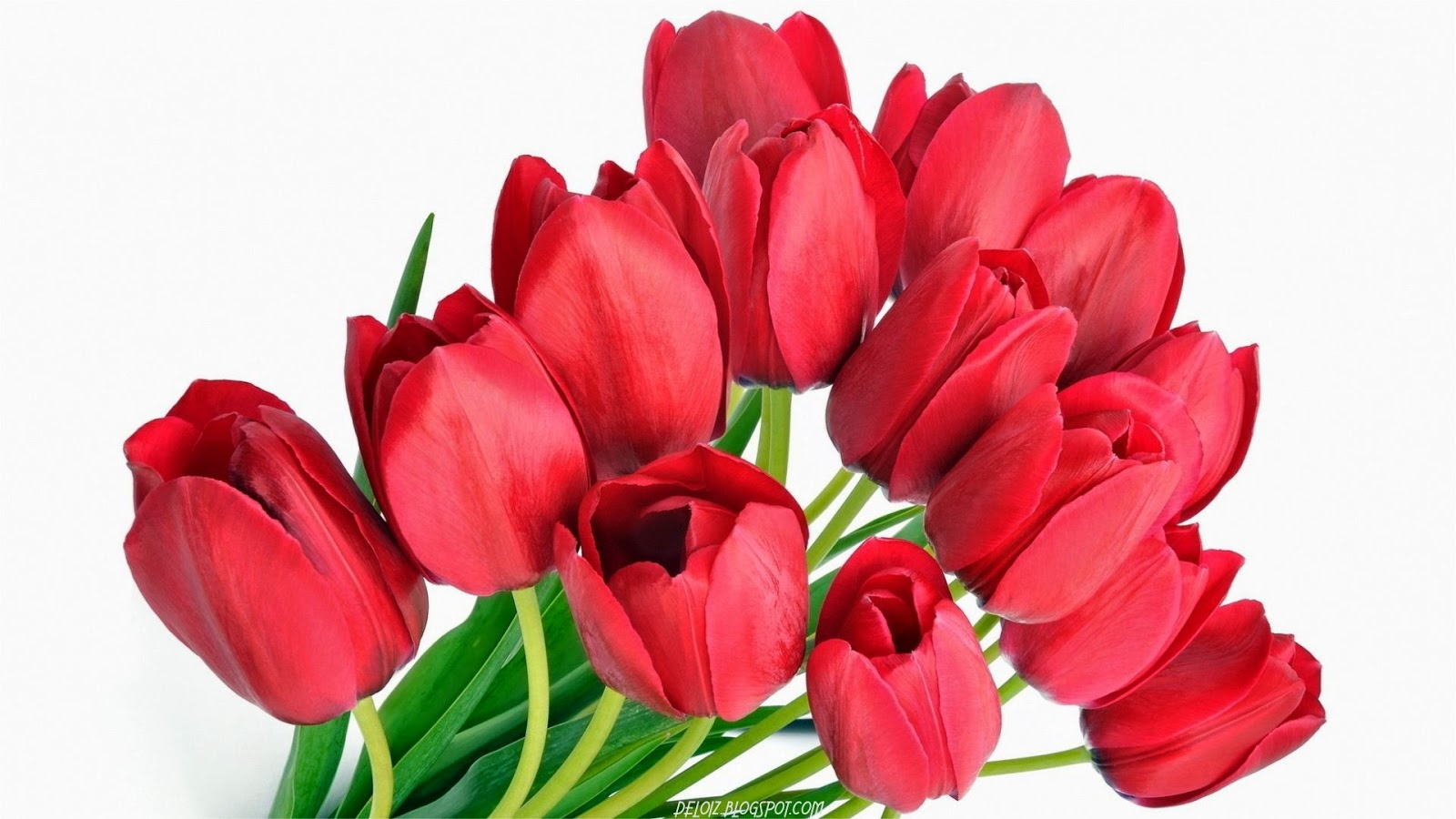 WALLPAPER ANDROID IPHONE Wallpaper Bunga Tulip Merah