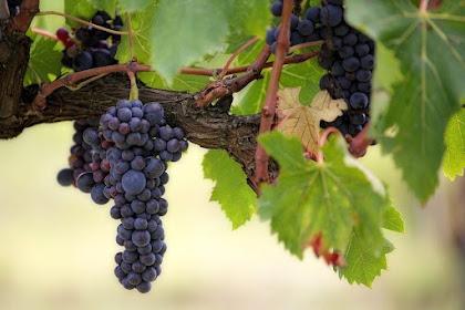 Cara Budidaya Anggur di Pekarangan Rumah