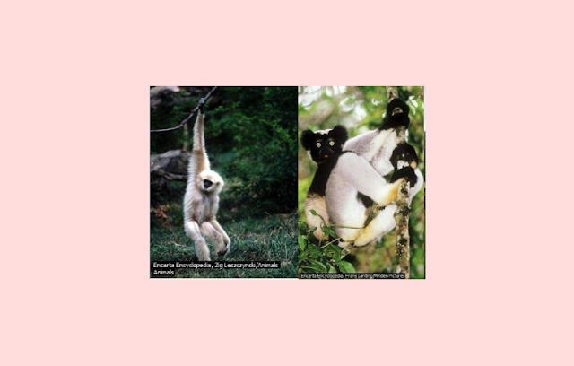 Mamalia Primata