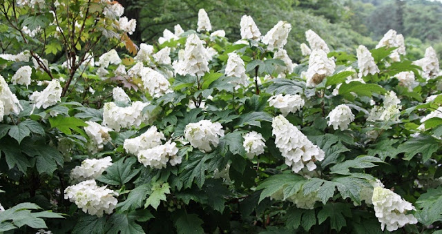 Hydrangea quercifolia with white flowers