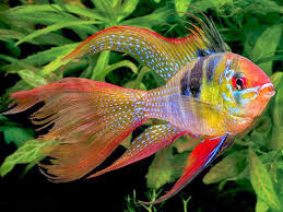 Budidaya Ikan Hias Yang Paling Cepat Untung Dengan Resiko Kecil