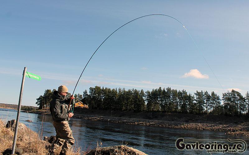 Mindre laxfangster for sportfiskare