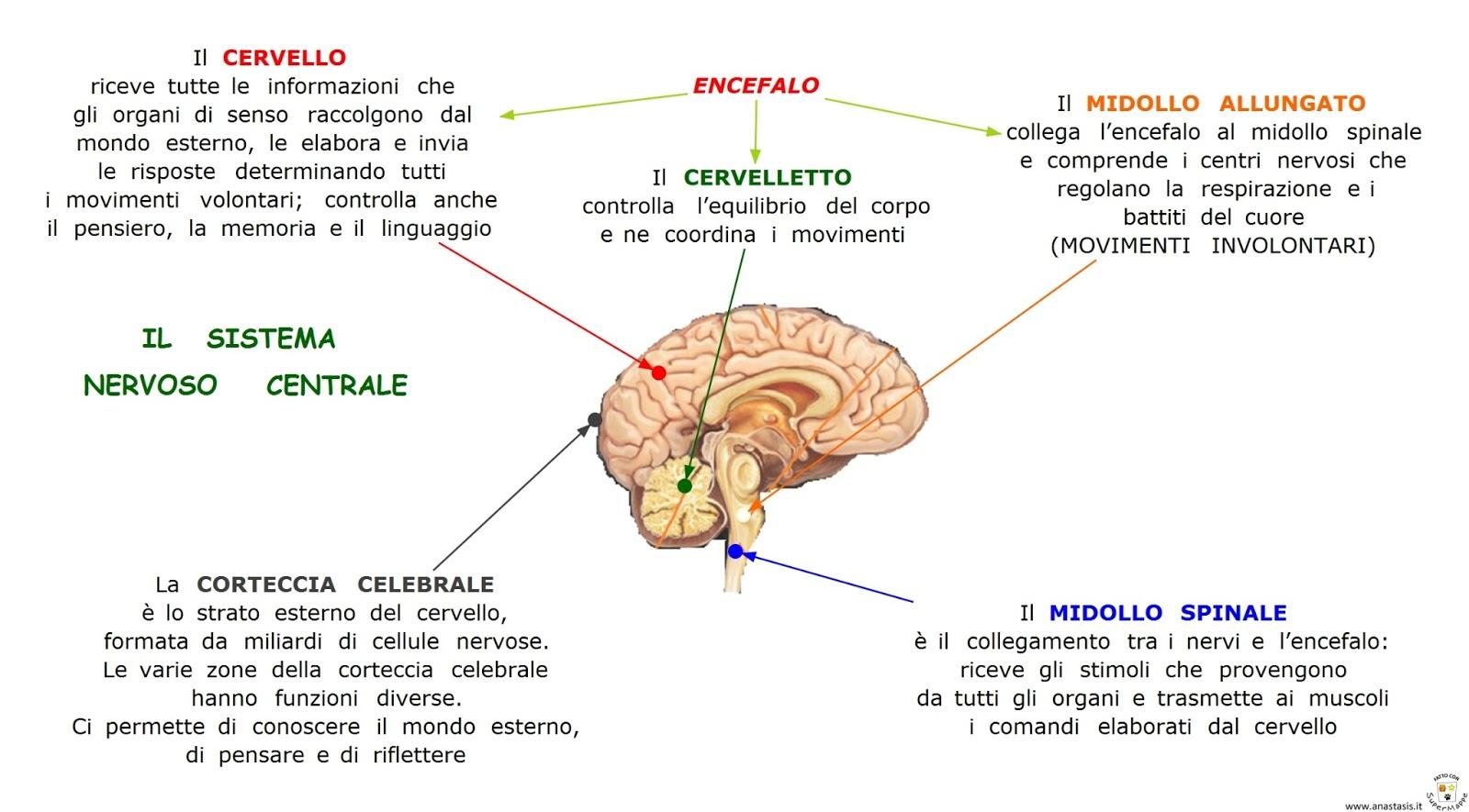 Paradiso Delle Mappe: Il Sistema Nervoso Centrale