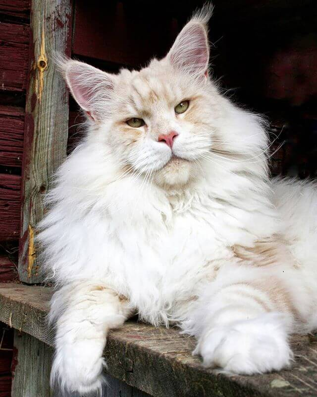 Meet Lotus, A Beautiful Maine Coon Cat, Both Majestic And Adorable