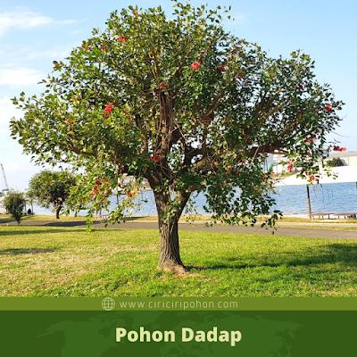Pohon Dadap