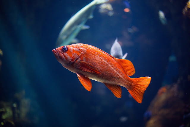 Orange Fish Swimming in  Aquarium  HD Wallpaper Download
