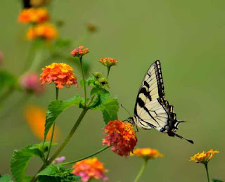 Tiger swallowtail utterfly on lantana