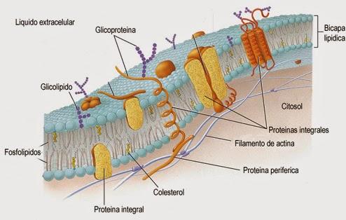 Conociendo El Mundo Celular Membrana Plasmatica