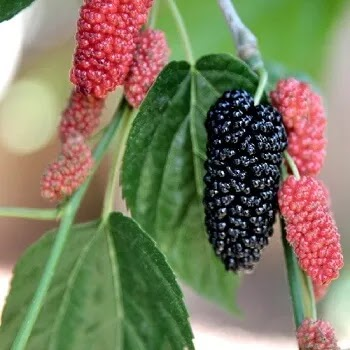 तुती, Mulberry fruits name in Marathi
