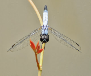 Aethriamantina gracilis