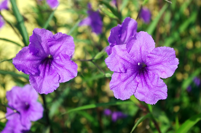 flowering plants mexican petunia