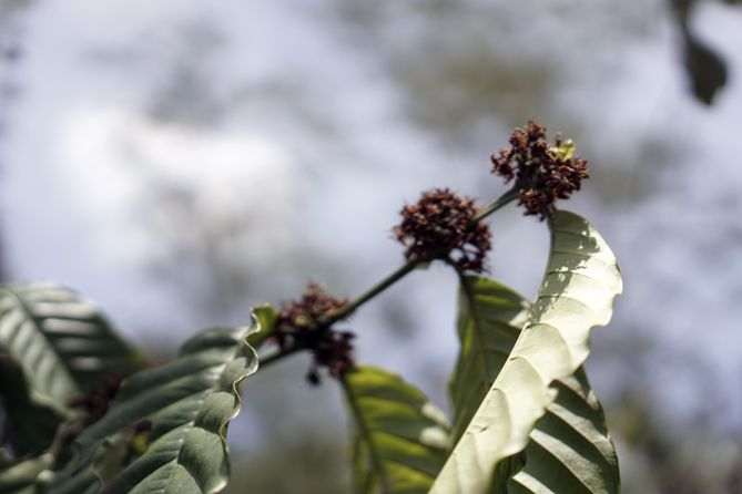 Bunga kopi yang kering