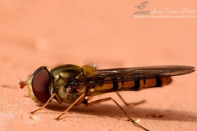Episyrphus Balteatus - Mosca Cernidora (fotografia-de-naturaleza.blogspot.com)
