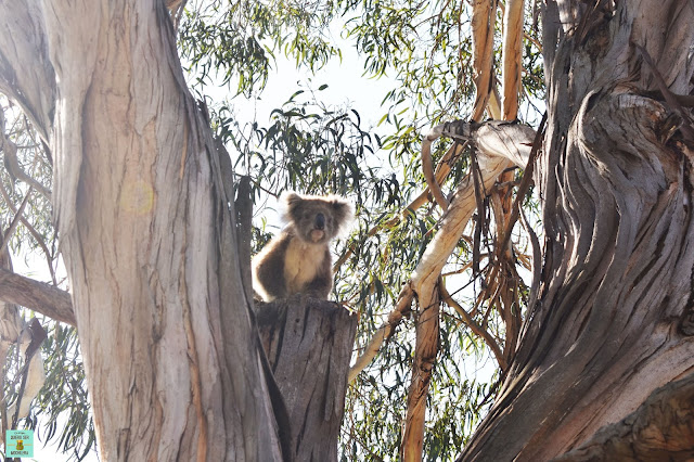 Koalas en Raymond Island, Australia