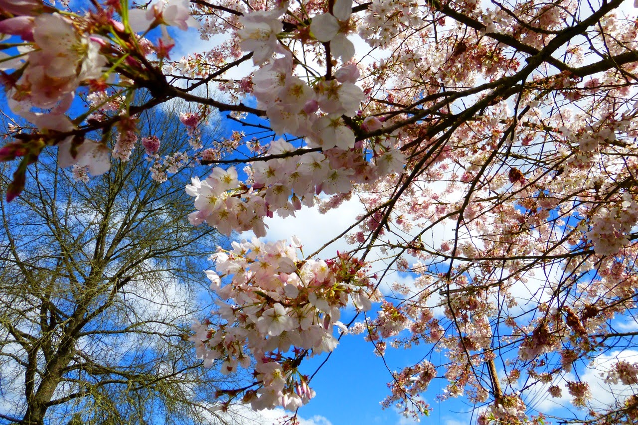 ume hanami, first day of spring, under a plum blossom tree, spring, blossoms, spring blossoms, plum blossoms, pink blossoms, sky and blossoms