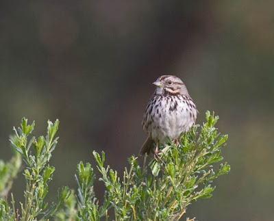 Photo of a Song Sparrow sitting on a bush