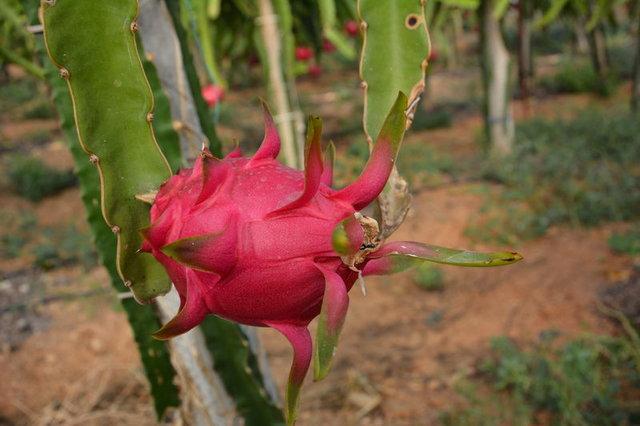 Ejder Meyvesi Nedir, Ejder Meyvesinin Faydaları Nelerdir