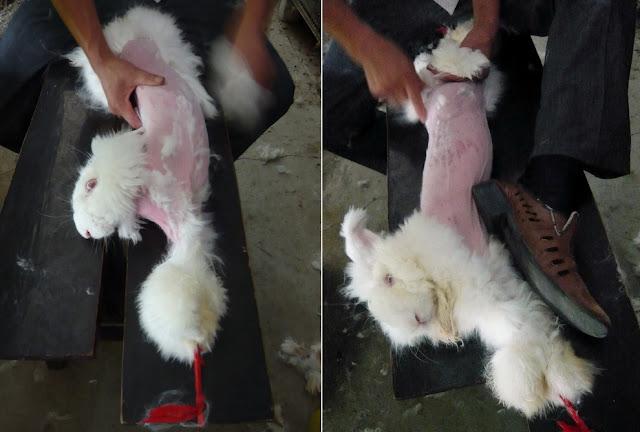 Кролики корчатся от боли, пока с них вживую сдирают мех для ангоры