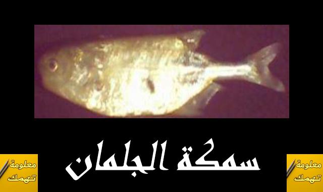 الصيد بسمكة الجلمان