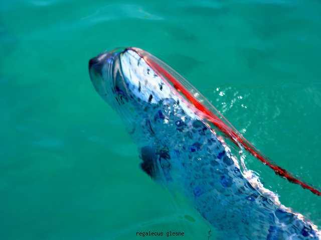 Rarely Seen Fish Oarfish Swimming