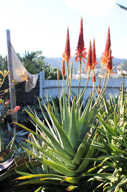 Aloe mutabilis in bloom