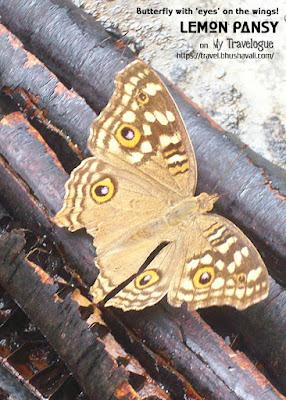 Lemon Pansy Butterfly Pinterest