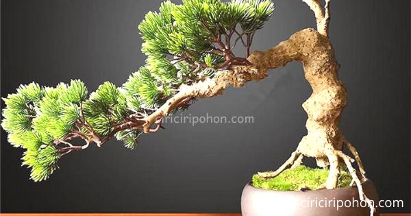 Pohon Bonsai