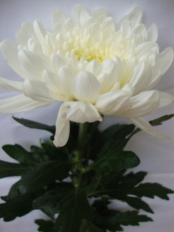 Secret Of White Chrysant Penantian Dan Pertemuan