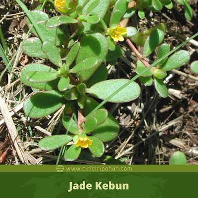 Jade Kebun