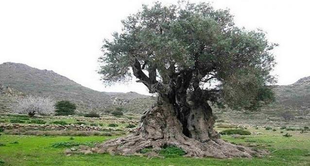 Κρήτη: Έκοψαν υπεραιωνόβια ελιά-σύμβολο | Αμοιβή για να βρεθούν οι δράστες