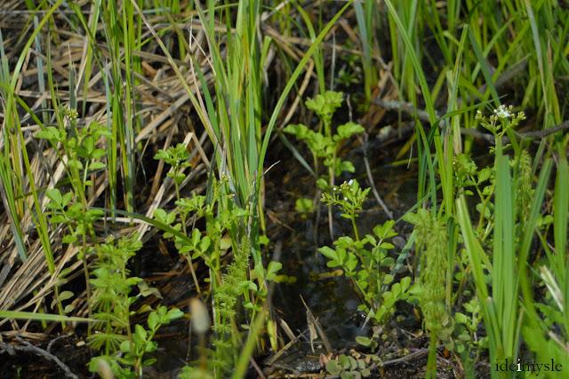 wodna rzeżucha, dzikie rośliny jadalne, rośliny chronione, nasturtium officinale, watercress