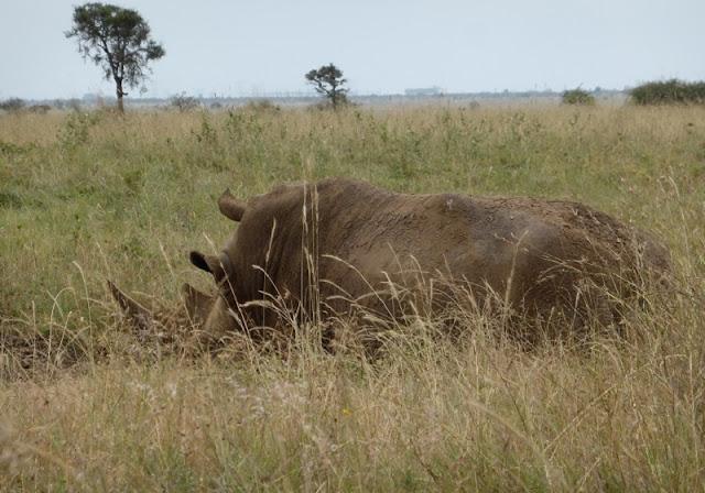 Rinoceronte negro descansando en el Parque Nacional de Nairobi