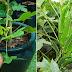 Cara Tanam Pokok Kacang Bendi Supaya Subur & Sihat