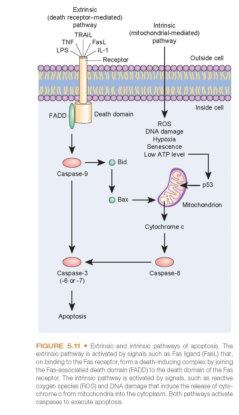 Extrinsic and intrinsic pathways of apoptosis. The extrinsic pathway is activated by signals such as Fas ligand (FasL) that, on binding to the Fas receptor, form a death-inducing complex by joining the Fas-associated death domain (FADD) to the death domain of the Fas receptor. The intrinsic pathway is activated by signals, such as reactive oxygen species (ROS) and DNA damage that induce the release of cytochrome c from mitochondria into the cytoplasm. Both pathways activate caspases to execute apoptosis.