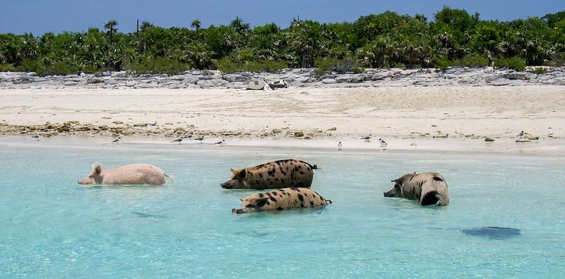 pig island,  pig beach,  exuma bahamas pigs,  pig beach bahamas,  exuma pigs,  big major cay,  pig island bahamas,  can pigs swim,  bahamas pig beach,  pig at beach,  pig beach,  pig on a beach,  pig on the beach,  pig swimming,  swim with pigs,  swim with pigs bahamas,  swimming pigs bahamas,  swimming pigs on bahamas,  swimming with pigs,  swimming with pigs bahamas,  swimming with the pigs bahamas,  the swimming pigs,