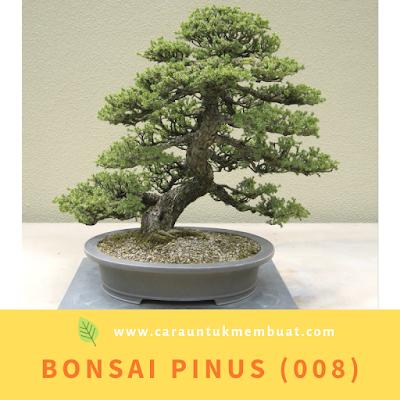 Bonsai Pinus (008)