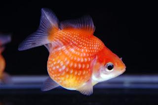 Ikan Mas Koki Pearlscale Goldfish
