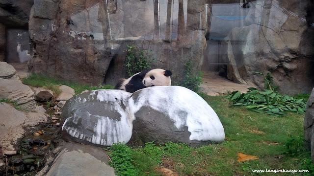 Panda in Ocean Park Hong Kong