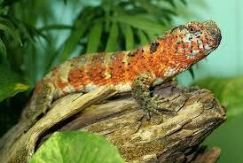 Crocodile lizard: has the smallest brain among reptiles