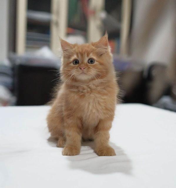 Harga kucing Persia medium umur 2 bulan